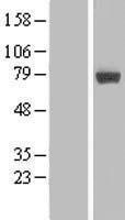 NBL1-13106 - MIER2 Lysate