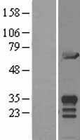 NBL1-13109 - MIF4GD Lysate