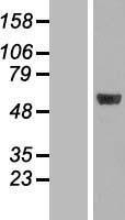 NBL1-13111 - MINA53 Lysate