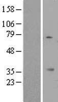 NBL1-13114 - MIOX Lysate