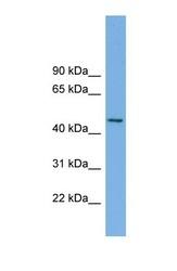 NBP1-57819 - MIPOL1
