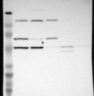 NBP1-86161 - MIPOL1