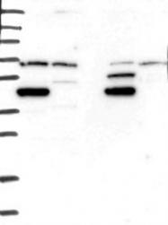NBP1-83178 - MKRN2 / RNF62