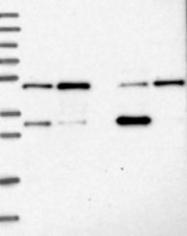 NBP1-83179 - MKRN2 / RNF62