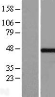 NBL1-13127 - MKRN2 Lysate