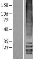 NBL1-13133 - MLF2 Lysate