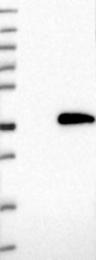 NBP1-86804 - MMADHC