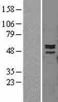 NBL1-13151 - MMP12 Lysate