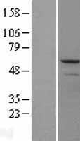 NBL1-13152 - MMP13 Lysate
