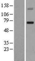NBL1-13154 - MMP15 Lysate