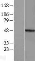 NBL1-13157 - MMP23B Lysate