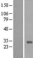 NBL1-13158 - MMP26 Lysate