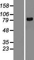 NBL1-13162 - MMP9 Lysate