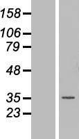 NBL1-13164 - MNAT1 Lysate