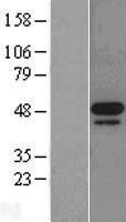 NBL1-13125 - MNK2 Lysate