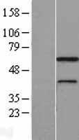 NBL1-13166 - MNS1 Lysate
