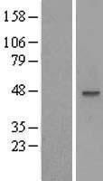 NBL1-13176 - MOCS3 Lysate