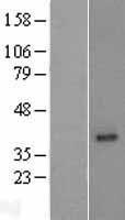NBL1-13177 - MOGAT2 Lysate