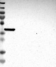 NBP1-84299 - MOGAT3