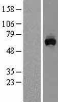 NBL1-13179 - MON1A Lysate