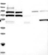 NBP1-84351 - MORC1