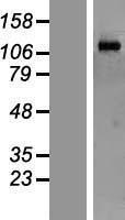 NBL1-13181 - MORC2 Lysate