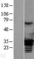 NBL1-13184 - MORF4L2 Lysate