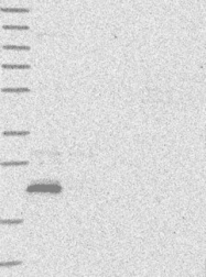 NBP1-84220 - MOSPD1