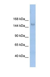 NBP1-57279 - MOV10L1