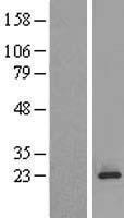 NBL1-13196 - MPDU1 Lysate