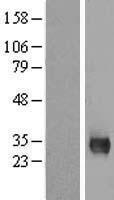NBL1-13197 - MPG Lysate