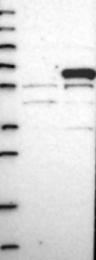 NBP1-87364 - MPHOSPH6