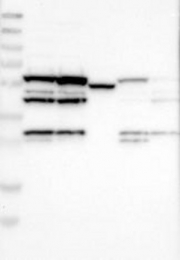 NBP1-87365 - MPHOSPH6