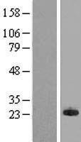 NBL1-13198 - MPHOSPH6 Lysate