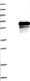 NBP1-84953 - MPP1