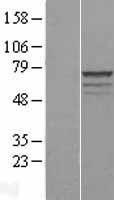 NBL1-13204 - MPP3 Lysate