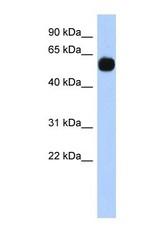 NBP1-53081 - MPP7