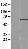 NBL1-13206 - MPP7 Lysate