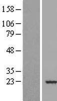 NBL1-13218 - MRCL3 Lysate