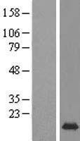 NBL1-13221 - MRFAP1 Lysate
