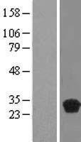 NBL1-08368 - C20orf20 Lysate