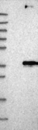 NBP1-83341 - GPR140
