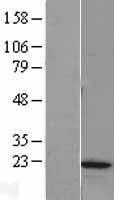 NBL1-13229 - MRLC2 Lysate
