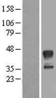 NBL1-13230 - MRM1 Lysate