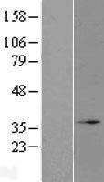 NBL1-13231 - MRO Lysate