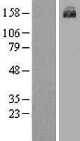 NBL1-07178 - MRP3 Lysate