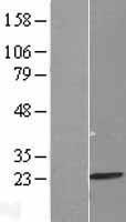 NBL1-13236 - MRPL13 Lysate