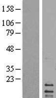 NBL1-13237 - MRPL14 Lysate