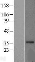 NBL1-13238 - MRPL15 Lysate