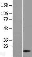 NBL1-13240 - MRPL17 Lysate